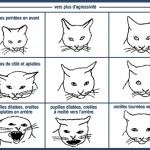 Comment savoir le sex d un chat