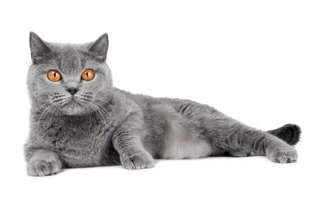 Le chat du mois le british shorthair un chat peluche for Red transparente para gatos